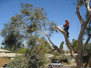 Tree Trimming Fort Lauderdale and Tree Trimming Service, davie and all of broward county florida
